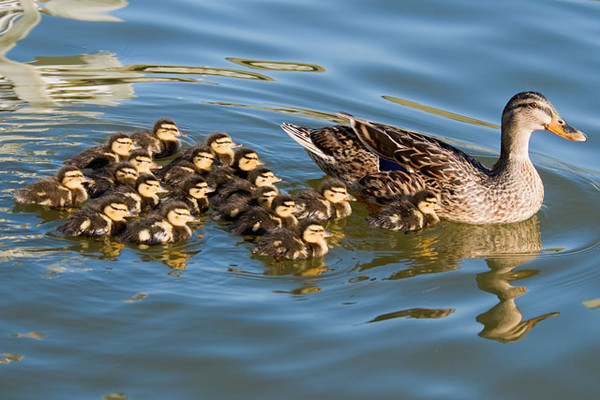 On Ocracoke Island in North Carolina, my wife Diana and I saw this mother Mallard bring her flock of 18 babies to the water.  They were so tiny it seemed like they must have been only a day or two old.  The first day we saw them, the babies stayed in a tight group right around their mother.  It was fun to watch the ducklings over the next several days.  By the second day they were asserting their independence and exploring their new surroundings away from Mom.