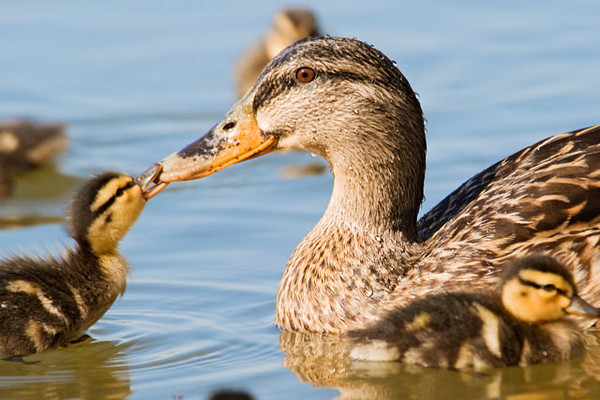 One of the ducklings is having fun playing with Mom's bill.
