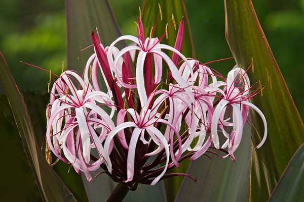 There are many beautiful flower displays at Gatorland.  This Swamp Lily was included in one of them.