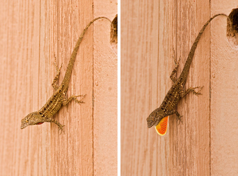 The Brown Anole is native to Cuba and the Bahamas but has been introduced into the United States.  It grows to a length of 5 to 9 inches.  It is normally brown but can quickly change its color to match the surroundings.  The male has a brightly colored flap of skin called a dewlap.  Usually the dewlap is tucked in, as in the picture on the left.  When the Anole is defending its territory or trying to impress a potential mate, the dewlap is extended as in the picture on the right.  Females also have a dewlap but it is smaller and they usually don't extend it.