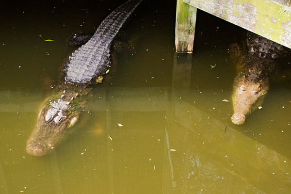 This is the only photo I got of an Alligator (on the left) and a Crocodile (on the right) next to each other.  The rounded snout of the Alligator is one of the more obvious ways to distinguish it from the Crocodile which has a more pointed snout.  Alligators are quite common in Florida but Crocodiles are not.