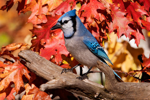 Blue Jays are everyday visitors to our yard.  The brightly colored Oak leaves made a beautiful background for this jay.