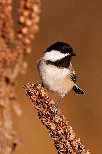 I keep thinking I have enough photos of Black-capped Chickadees but this one landed on a nearby mullein stalk, gave me a great pose, and I couldn't resist.