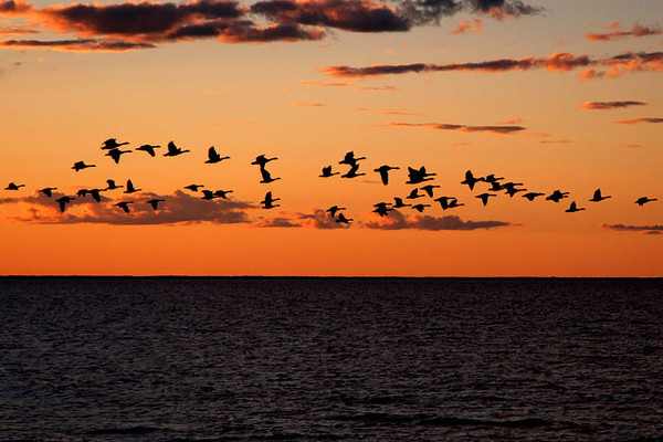 Most of Door County, Wisconsin, is a peninsula jutting out into Lake Michigan.  We were there about a week ago and stayed in a house on the shore of Green Bay (the body of water, not the city).  One evening, as the sun was setting, a flock of Canada Geese flew by against the orange sky.
