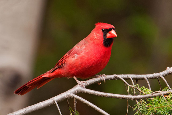 We visited several of the Wisconsin State Parks in the area.  At Potawatomi State Park, I was able to get several nice photos of this male Northern Cardinal.