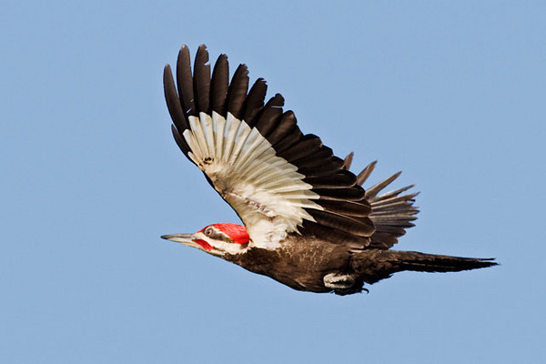 On short flights the Pileated Woodpecker has an undulating flight pattern.  It alternates between flapping its wings, as shown in this photo, and gliding.