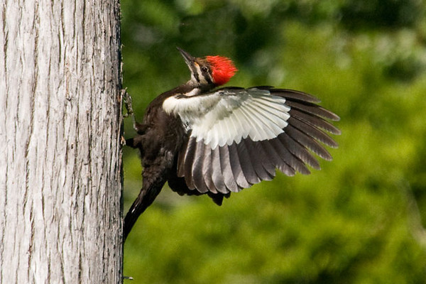 "At the photography workshop that I attended near Vero Beach, Florida, we also concentrated on Pileated Woodpeckers.  Here is one of my favorite photos from the trip.  You can tell this is a female because she has a black ""mustache"" and the red on the top of the head doesn't come all the way down to the bill.  She has just landed on the side of a Cypress tree."