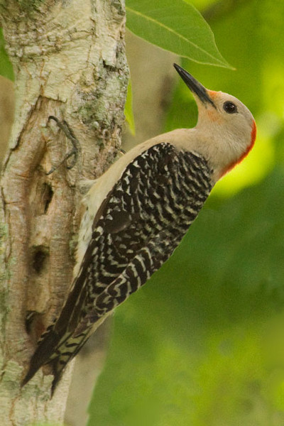 We also saw Red-bellied Woodpeckers.  I didn't get any flight shots but here is one of them clinging to the side of a tree.  I think this is a female.  On a male the red on the top of the head would extend almost to the bill.  The view is somewhat limited but it looks like the red is only on the back of the head.