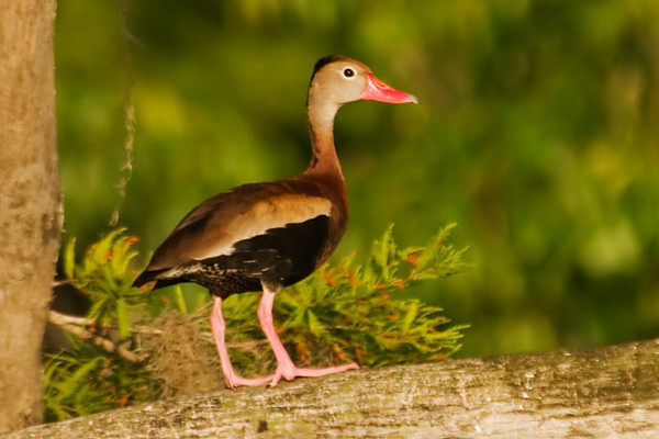 Another species that we saw on the lake was the Black-bellied Whistling-Duck.  They are more common in the Tropics but the population has been increasing in the southern United States.  They have a distinctive, bright red bill and long pink legs.  Whistling-Ducks do perch in trees as this one is doing: they nest either in tree cavities or on the ground.