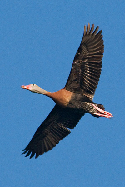 Here is a photo of a Black-bellied Whistling-Duck in flight.