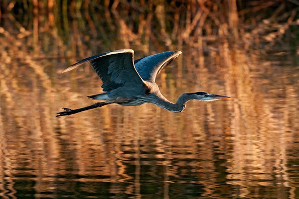 I was standing on the bank of the Apalachicola River shortly after the sun came up when this Great Blue Heron flew by.  The low angle of the light produced interesting highlights on the bird, especially on the leading edges of the wings.  It also reflected off the riverbank vegetation to produce a beautiful golden glow on the water.