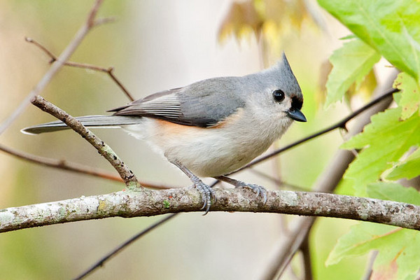 The Tufted Titmouse is an energetic, friendly little bird.  It's a year-round, common backyard resident in the eastern half of the United States.  However, they are absent from most of Minnesota, where I live.  So, I'm always interested in seeing them when I go to Florida.  They like to line their nests with soft materials and have been known to pluck hair from a dog or even from a human.