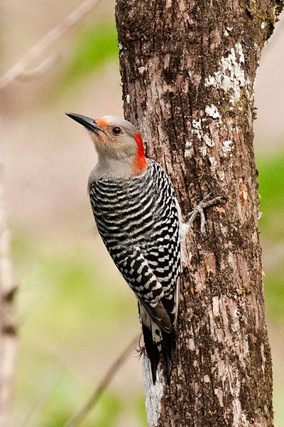 The most common woodpecker in the south is the Red-bellied Woodpecker.  This is a female.  You can tell because the red on the back of her neck stops at the top of her head.  A male would have a red stripe from the back of the neck all across the top of the head right down to the bill.  This woodpecker is 9 to 10 inches long, about the same size as a hairy woodpecker.