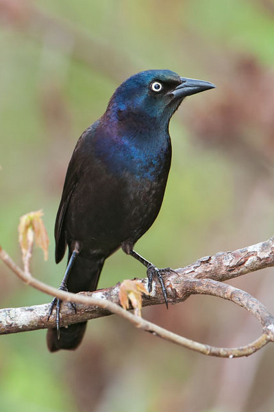I know, Common Grackles are often considered pests.  But I still like the iridescent colors of the male's plumage.