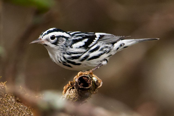 This Black and White Warbler was foraging near the boardwalk at Corkscrew Swamp.  I'm always amazed at how a bird with just black and white feathers can be so strikingly beautiful.