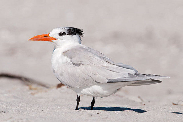At 18-21 inches long, the Royal Tern is the second largest tern in North America.  (The Caspian Tern is a little larger.)  This is how they look for most of the year, but during breeding season the entire top of the head is black.  All of these tern photos were taken on Sanibel Island, near Fort Meyers, Florida.