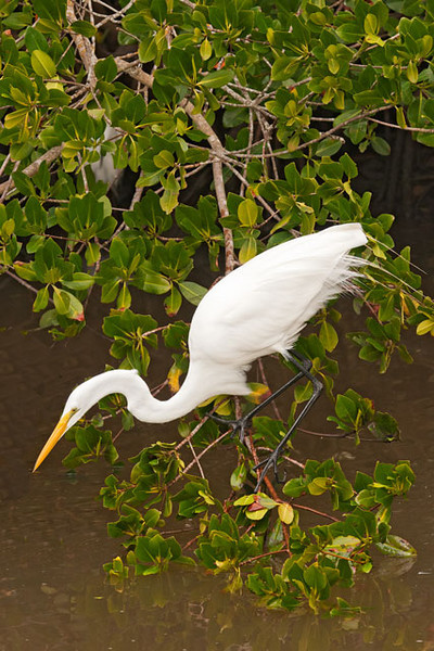 The Great Egrets positioned themselves in the mangroves near the water to snatch up any prey item that ventured too close to them.