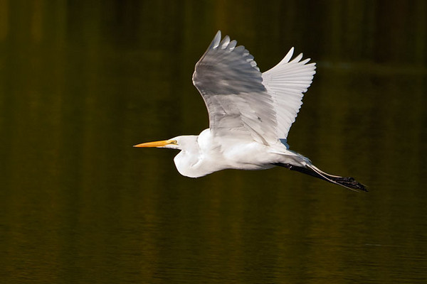 Great Egrets are very graceful when flying.  Their slow but powerful wing beats contribute to that impression, making them appear to float effortlessly through the air.