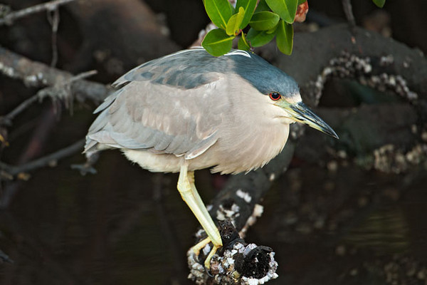 This adult Black-crowned Night-heron is roosting in a mangrove pool at Ding Darling NWR.  They do most of their feeding at night and they rest during the day.  In winter they are found along the Atlantic, Pacific, and Gulf Coasts of the United States.  However, during breeding season, they disburse to most of the non-mountainous areas of the country.