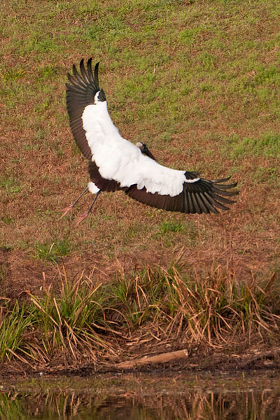 This photo of a landing Wood Stork gives a nice look at the white and black pattern on the upper wings.  This picture and the previous one were taken at Lake Henrietta near Tallahassee, Florida.