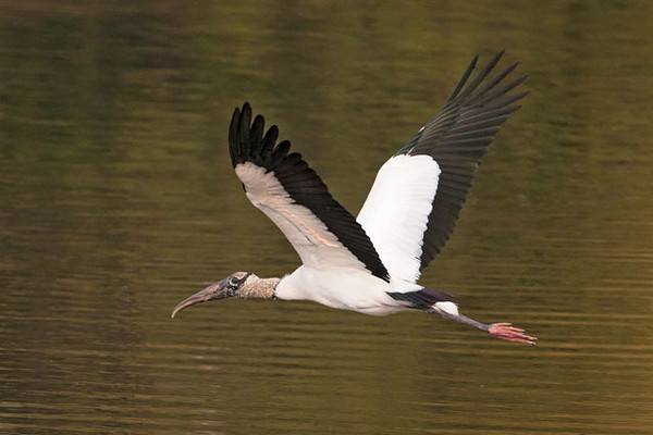 The only member of the stork family that breeds in the United States is the Wood Stork.  They are found in the far southeastern states, mainly in Florida.  They are large birds (3-4 feet tall) with bare heads and large, heavy bills.