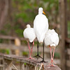 These three birds, a Great Egret and two White Ibis, were walking on the boardwalk railing at Corkscrew Swamp.  It looks like the egret is giving the two ibis a guided tour of the swamp.