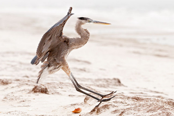 Here's a juvenile Great Blue Heron that looks like it's about to fall over.  It was landing on the beach on St. George Island, Florida, and I snapped this photo just before its momentum carried it into an upright position.
