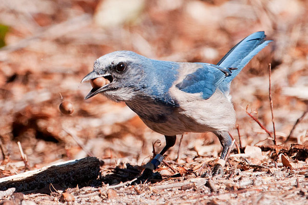 We visited Oscar Scherer State Park near Sarasota, Florida, and saw the resident Florida Scrub Jays.  This one was gathering acorns and tried to stuff one too many into its mouth.  You can see the one that got away in mid-air just to the left of the bird's mouth.