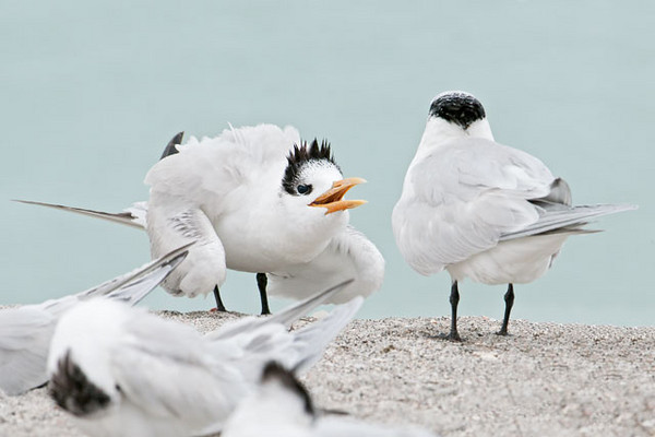 In a group of Royal Terns on Sanibel Island, I found this juvenile begging for food from the adult on the right.  I think the adult decided it was time for the youngster to start finding food by itself, because the pleas were totally ignored.