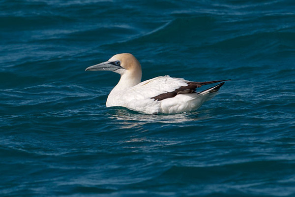 Here are some more sea birds that I saw on my boat trip out of Kaikoura, New Zealand.  We saw this Australasian Gannet on our way out to the Albatross site.  These are fairly large birds (33-36 inches long).  They are known for making spectacular plunge dives to catch small fish from the ocean. They nest on small, predator-free islands off the coasts of New Zealand and Australia.  Most juveniles leave and go to the waters off southern and eastern Australia.  After 3 to 7 years they are ready to breed and then return to New Zealand.