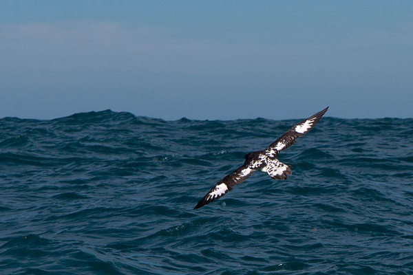 This photo of a Cape Petrel gliding over the waves shows the beautiful speckled pattern on their wings and back.