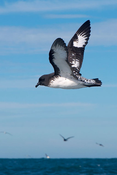 Here's a Cape Petrel in flight.  The top part of the bill looks broken off but that is actually the nostrils of the bird.  They also have a salt gland above the nostril.  This allows them to drink sea water and excrete the salt so it doesn't harm them.