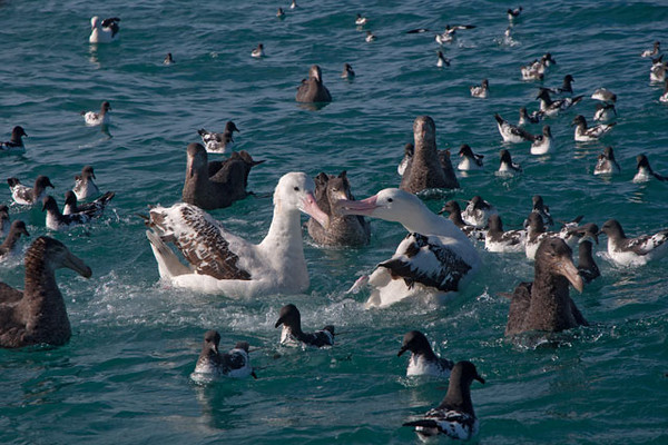This is how it looked when we reached the feeding area.  Birds were crowded in all around the boat.  Notice the two Albatross in the center with the pink bills.  They were definitely the largest birds in the group.