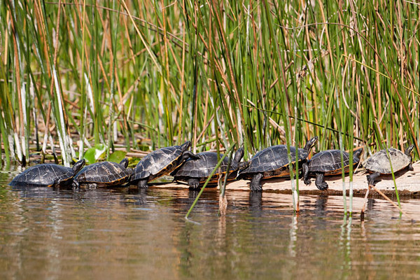 "These Suwannee Cooters were sunning themselves on a log at Wakulla Springs State Park near Tallahassee, Florida.  They don't seem to mind being close together and can sometimes be found stacked on top of each other.  Cooters can be up to 16"" across.  For the most part they are found only in Florida but their range does extend up the Suwannee River into southern Georgia.  Suwanee Cooters are on the Species of Special Concern list in Florida."