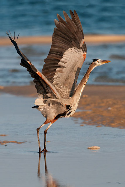 Great Blue Herons are not usually thought of as colorful birds.  However, as this photo shows, they have lots of black and rusty red accent patches.  This photo was taken at St. George Island State Park.