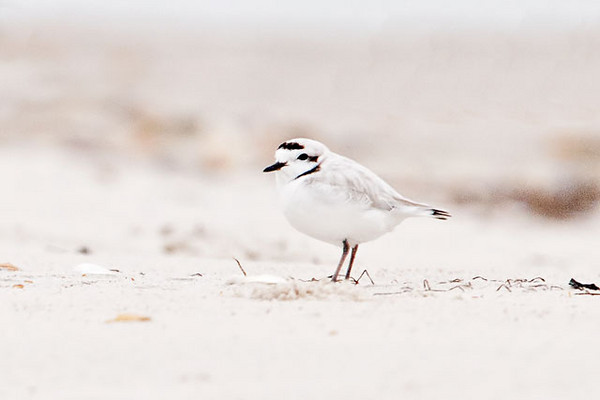 "The endangered Snowy Plover is a tiny shorebird only 6-7"" long.  Its pale plumage blends so well with the dry sand that it is often overlooked.  This photo was taken at St. George Island State Park where Snowy Plovers are year-round residents.  Because the black marks on the head and neck are so dark, it seems likely that this bird already has its breeding plumage."