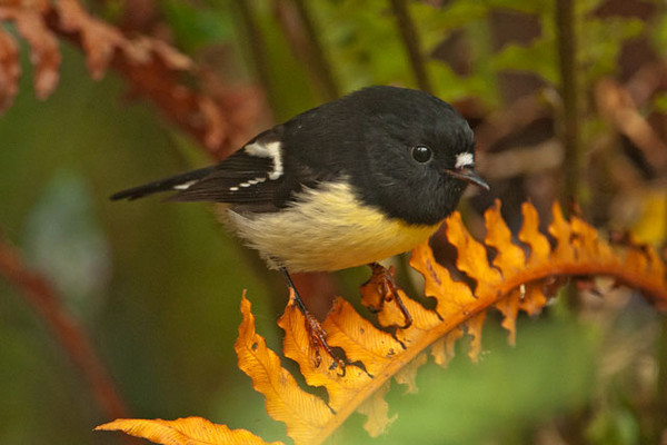 This is a male Tomtit.  The female is brown and less colorful than the male.  They are found in the forests of both the North and South Islands.  South Island birds have a golden/yellow wash on the breast, like this one.  North Island Tomtits are all white underneath.  These are small birds, about the size of our Black-capped Chickadee