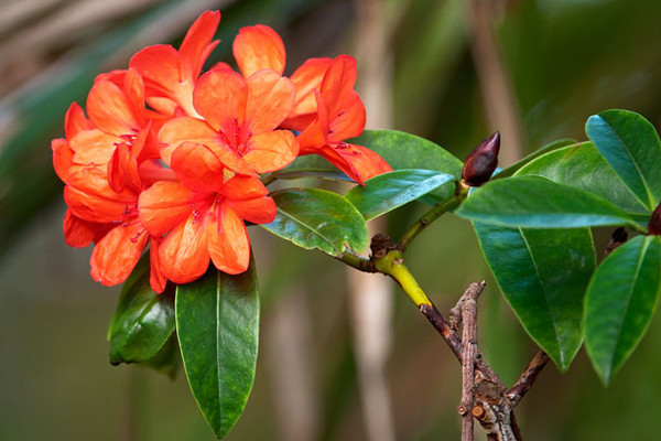 This is a Vireya Rhododendron.  It was taken in Auckland
