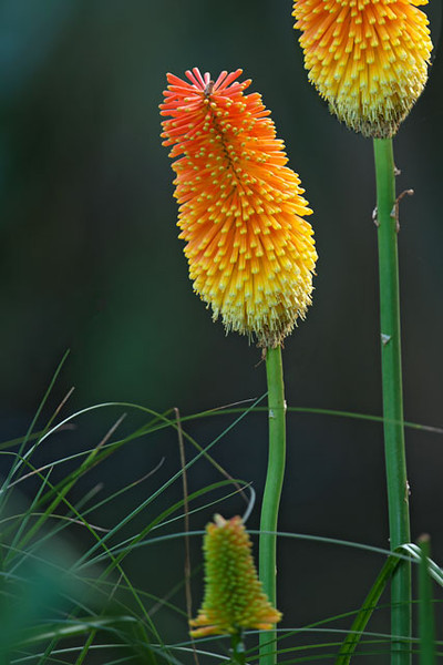 We found this Torch Lily (Kniphofia) in a park in Auckland.  It is also known as Red Hot Poker.  Notice the immature flower at the bottom of the photo. It is just beginning to open.