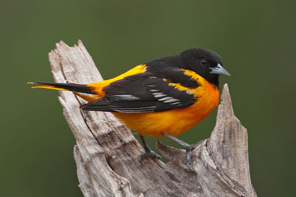 Baltimore Orioles have arrived back at our home in northern Minnesota.  This is a male showing off his stunning plumage.  This species was named after the black and orange colors in the coat of arms of Lord Baltimore.  We have at least three of these brilliantly adorned males coming to our feeders