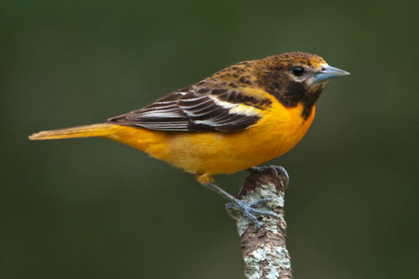 Here is a female Baltimore Oriole.  She is also black and orange, but just more muted in the color of her feathers.  First-year males look a lot like females so we have a few orioles that could be either one.