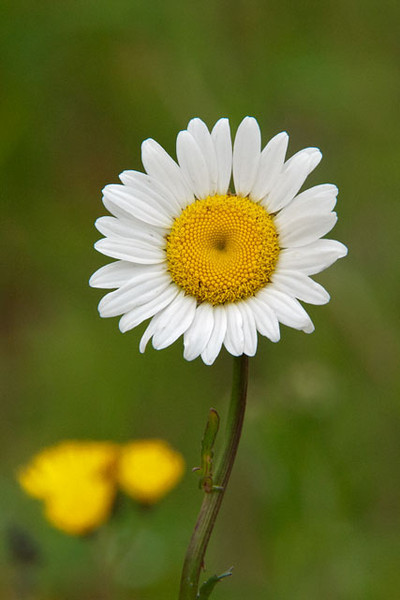 The Ox-eye Daisy was one of the first plants introduced to the United States by European settlers.  It is very prolific and can take over entire fields if given the chance.  The yellow center disk is made up of hundreds of tiny florets, each capable of producing a seed.  The florets on the edge of the disk have already started to open.  The others will open in order from the outside toward the center.  This gives the plant its best chance of having at least some of its florets pollinated.