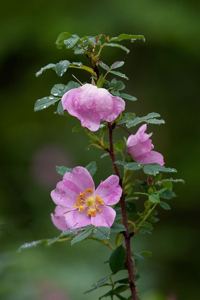 Wild roses are also common along the Lima Mountain Road.  Rose hips, produced when the flower goes to seed, are edible and high in vitamin C.