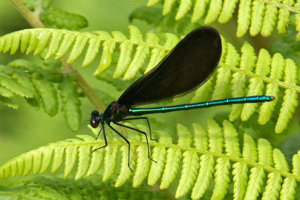 "This Ebony Jewelwing is a damselfly I had never seen before.  The dark wings caught my eye because I'm used to seeing clear wings on Damselflies and Dragonflies.  I saw it along the Lima Mountain Road.  The book ""Damselflies of the North Woods"" says they are found along small to medium-sized forest streams.  It also says the female ""is blatantly promiscuous, mating up to five times a day and rarely with the same male.""  She can produce up to 2000 eggs."