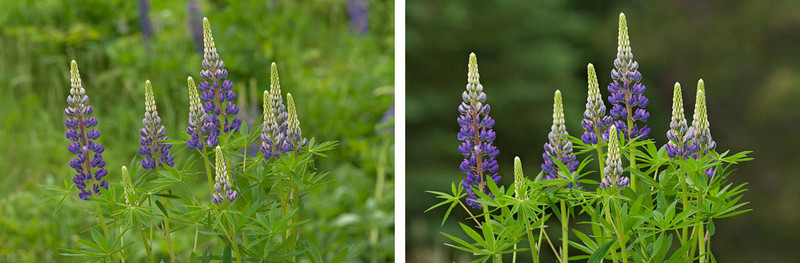 Here's a follow-up to my flower photos from last week.  I found this particularly nice grouping of Purple Lupine growing at an intersection along the Gunflint Trail.  My first attempt was the photo on the left.  I was standing up and looking down at the flowers.  The ditch along the road was in the background.  Then I noticed the dark pine trees across the road.  I lay down on my stomach on the ground and, looking up at the same set of blossoms, took the photo on the right.  It's amazing how a new perspective makes so much difference.  Not only are the flowers much more dramatic, but the leaves of the plant are now emphasized.  Getting down on the ground is one of the tricks of nature photography.