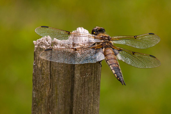 This is a Four-spotted Skimmer and it was very cooperative.  It was perching on a post in our yard and let me get quite close so I could take this photo from behind.