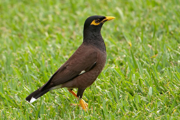 The Common Myna is indeed common.  They were introduced in 1865 from India to control insect pests and are abundant on all of the Hawaiian Islands.  They eat almost anything and are found in both urban and suburban areas.  Mynas gather in noisy flocks and can become a nuisance.  At 9 inches, they are about the size of a Robin and have a bright yellow patch of skin around the eye.