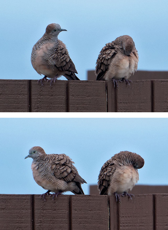 These two pictures of a pair of Zebra Doves were taken at the condo resort where we stayed.  These photos just cry out for a good caption.  Go ahead, get creative and enter your best caption in the comments section below.