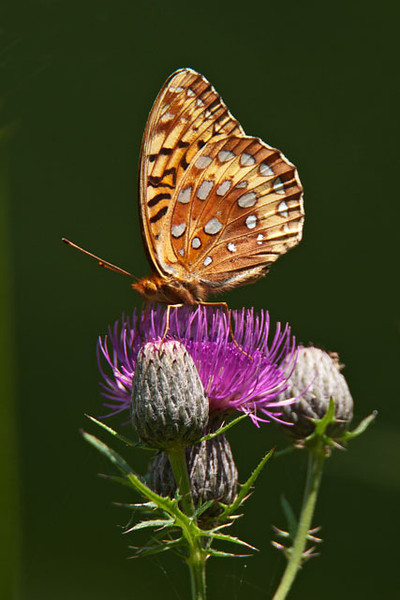 Here's a Great-spangled Fritillary on a Swamp Thistle near our house.  It has a wing span of 2½ to 3½ inches.