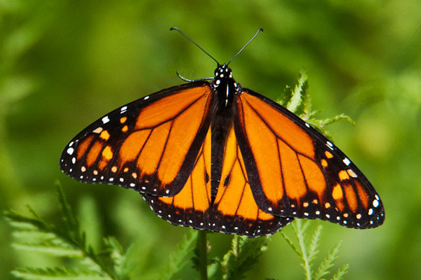 No collection of butterfly photos would be complete without a Monarch.  It's one of our larger species (wingspan of 3½ to 4½ inches) and one of the more colorful ones.  This Monarch was along the road leading to our house.